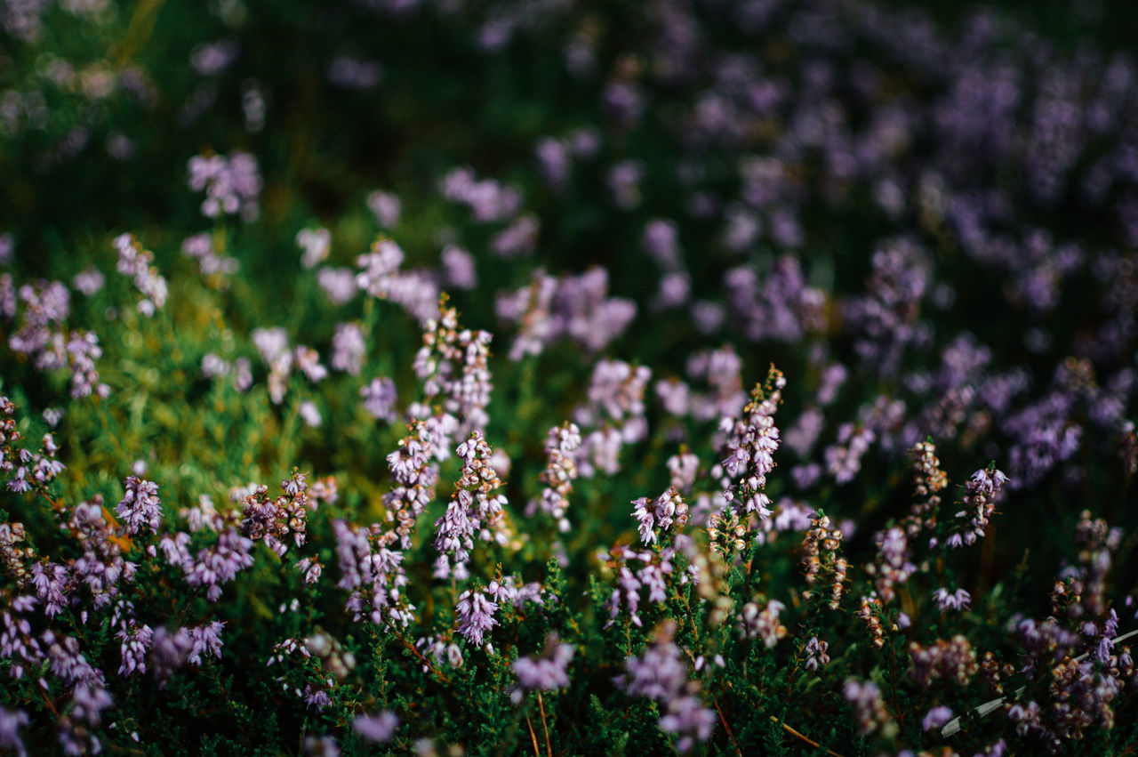 Autumn Beauty In Nature Calm Close-up Day Dune Fall Flower Flowers Fragility Freshness Growth Heather Inspiring Moor  Nature No People North Outdoors Plant Purple Sea