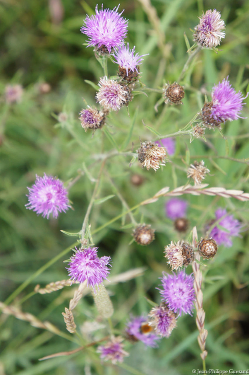 flower, purple, growth, nature, plant, beauty in nature, fragility, flower head, no people, day, freshness, outdoors, blooming, close-up, thistle