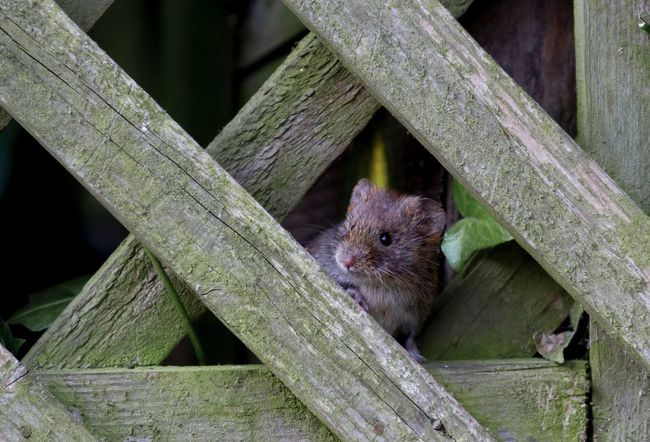 Vole checking to see if the coast is clear. Peeking Mammal Curiosity Animal Vole Back Garden Wildlife Wild Rodent Cute