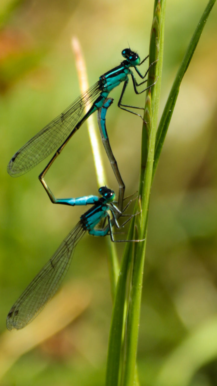 insect, animal themes, animals in the wild, one animal, green color, animal wildlife, damselfly, outdoors, day, focus on foreground, close-up, no people, blue, nature