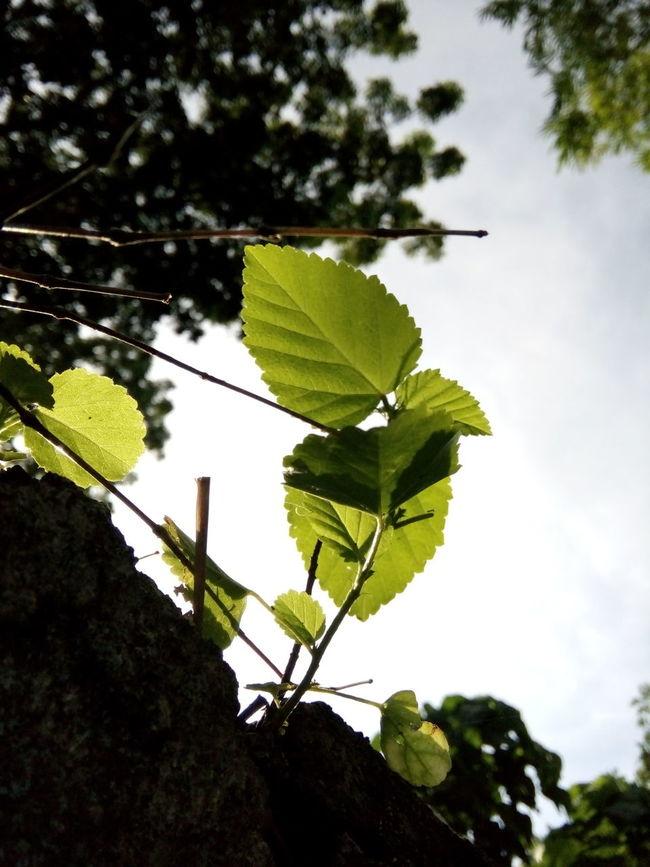 Greenleaves Leaves Green SimpleyetBeautiful Focused Cute Greeneverywhere