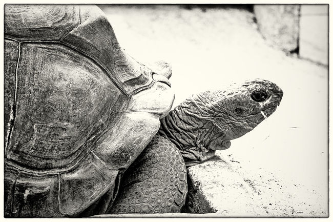 Giant Tortoise Auto Post Production Filter Day Giant Tortoise High Angle View Low Section One Animal Outdoors Side View Transfer Print
