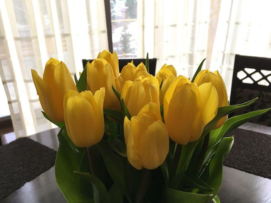 Tulips Carpathians