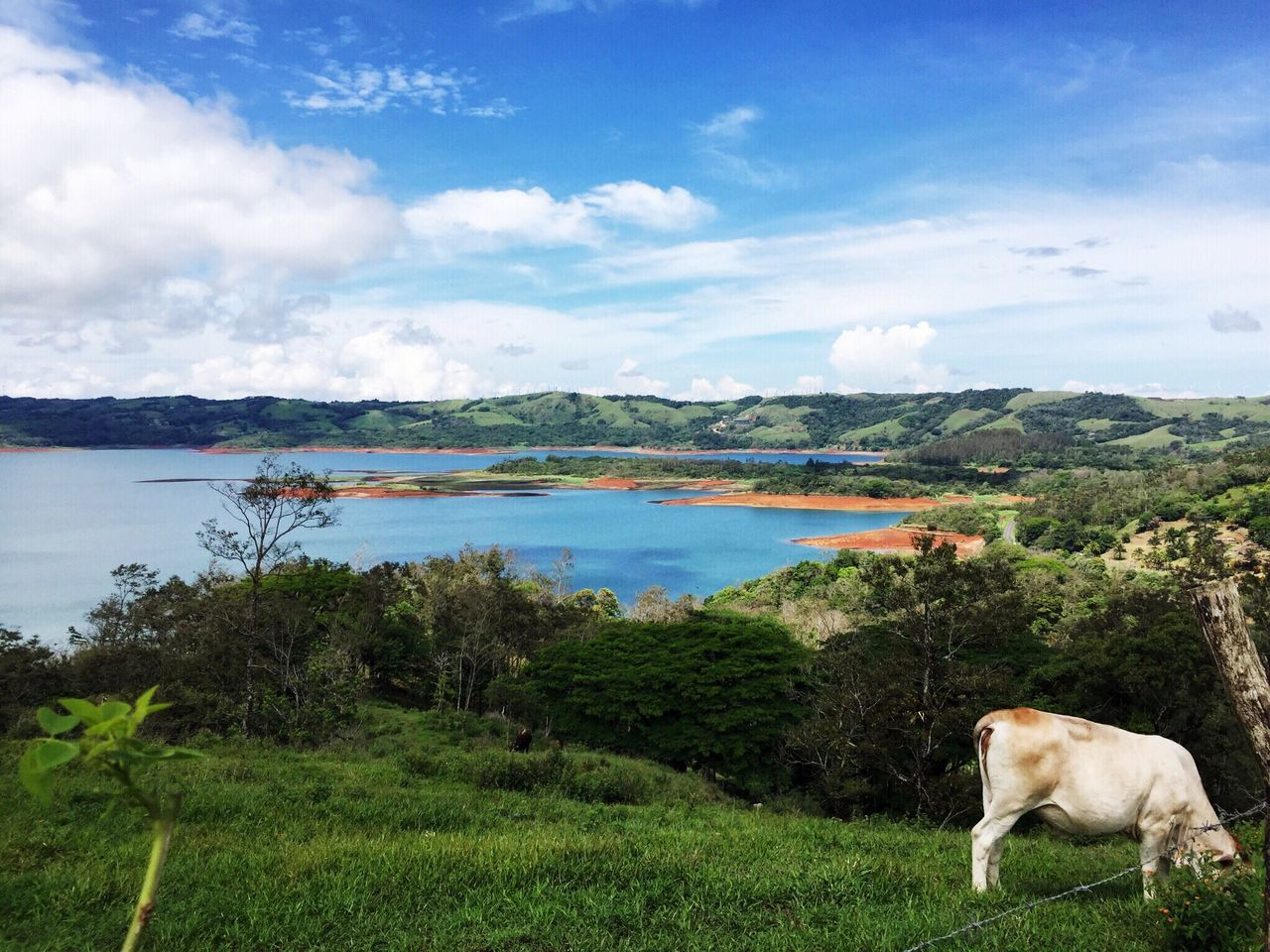 Animal Themes Domestic Animals One Animal Mammal Grass Sky Water Tranquil Scene Tranquility Field Lake Full Length Livestock Non-urban Scene Domestic Cattle Cloud - Sky Zoology Nature Grazing Cattle Costa Rica Hidden Gems