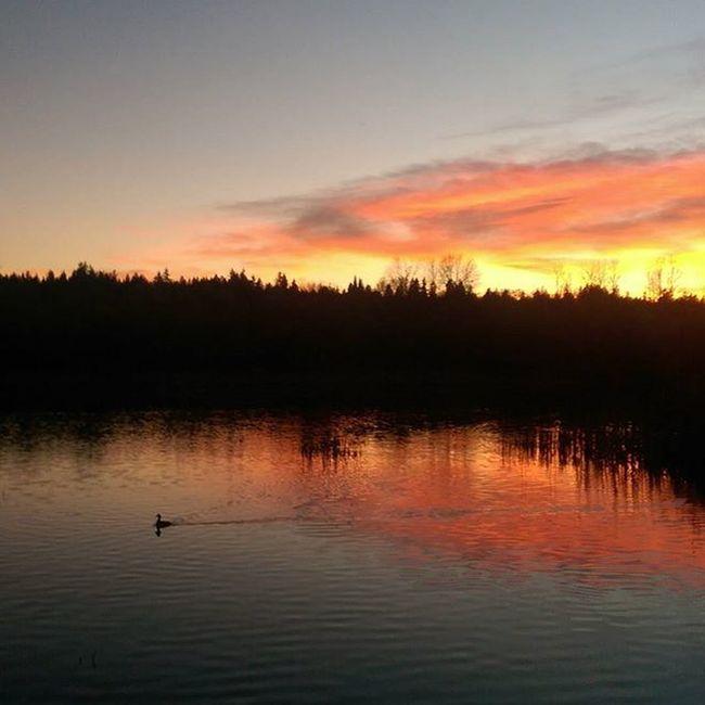Evening stroll Lakesammamish Sunset Lake Settingsun Loneduck Cellphonepic