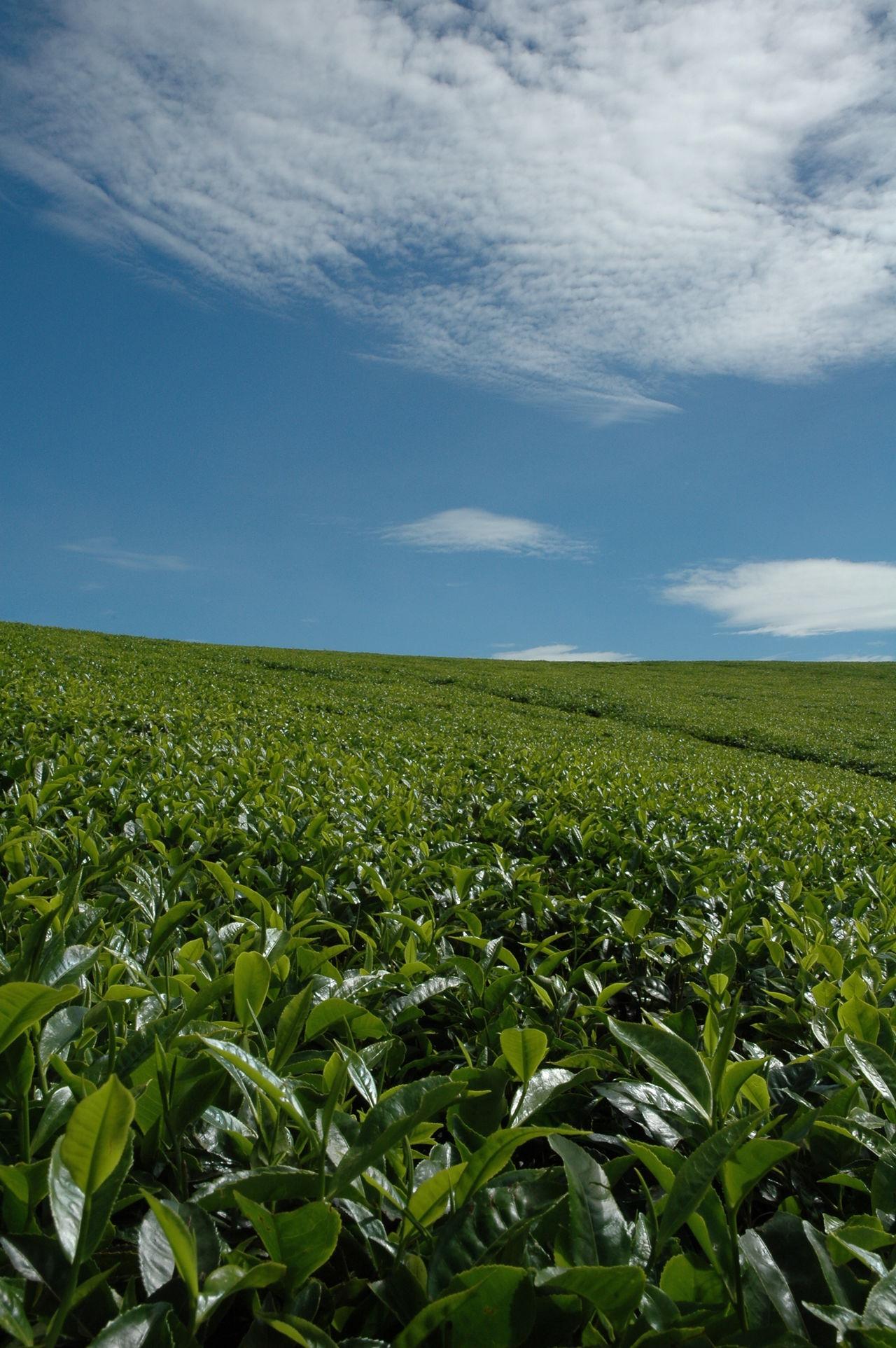 Tea Tea Plantation  Tea Plant Landscape East Africa Uganda