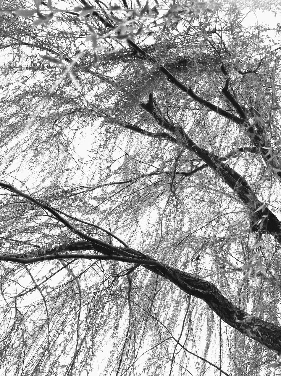 Trilogy2, 3 B&w B&w Photography Bare Tree Beauty In Nature Branch Branches Day Growth If Trees Could Speak Low Angle View MUR B&W Nature No People Outdoors Scenics Sky Tranquility Tree Weeping Willow