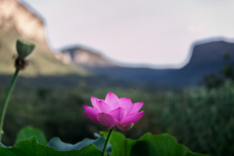 #Mountains #Nature  #lotus #lotusflow Beauty In Nature Blooming Close-up Day Flower Flower Head Focus On Foreground Fragility Freshness Green Color Growth Lake Leaf Lotus Water Lily Nature No People Outdoors Petal Pink Color Plant Sky