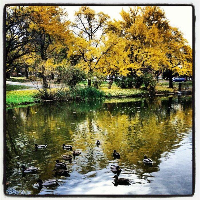 Ducks at the Washingtonpark lake Nature Citypark