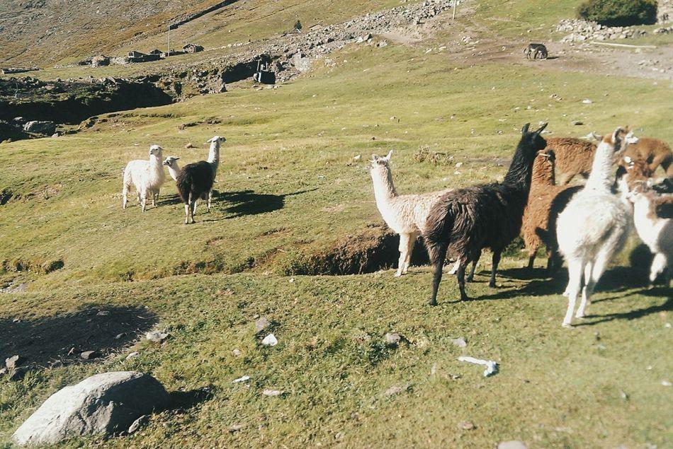 Beautiful stock photos of llama, Animal Themes, Day, Domestic Animals, Field