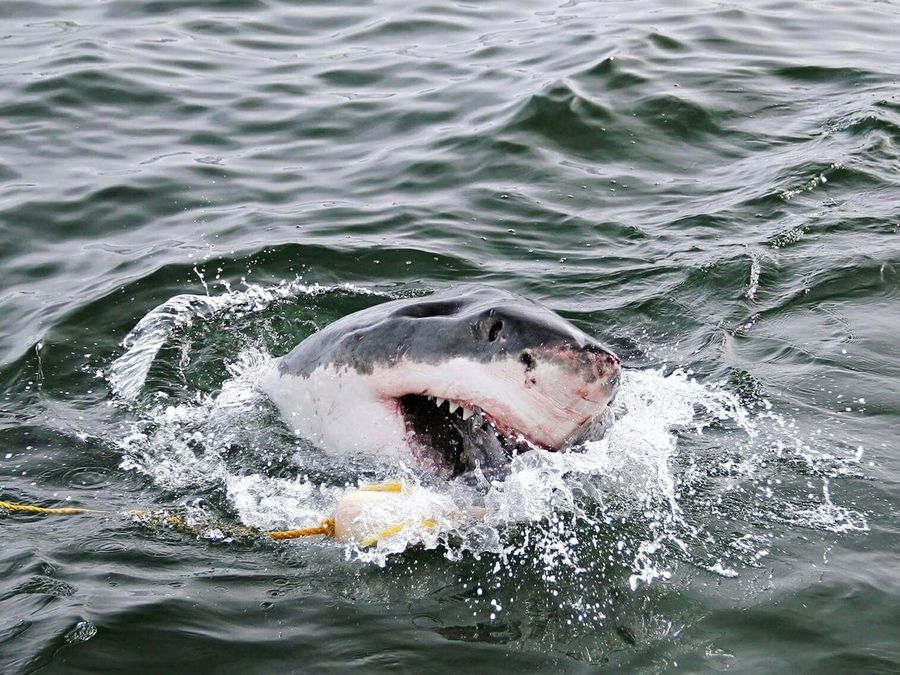 Great White shark in action. Water Splashing Shark Sharkweek Shark Tooth Shark Attack Shark Diving  Great White Shark Gansbaai South Africa Animals In The Wild Wildlife & Nature Sea Predator No People Nature Photography