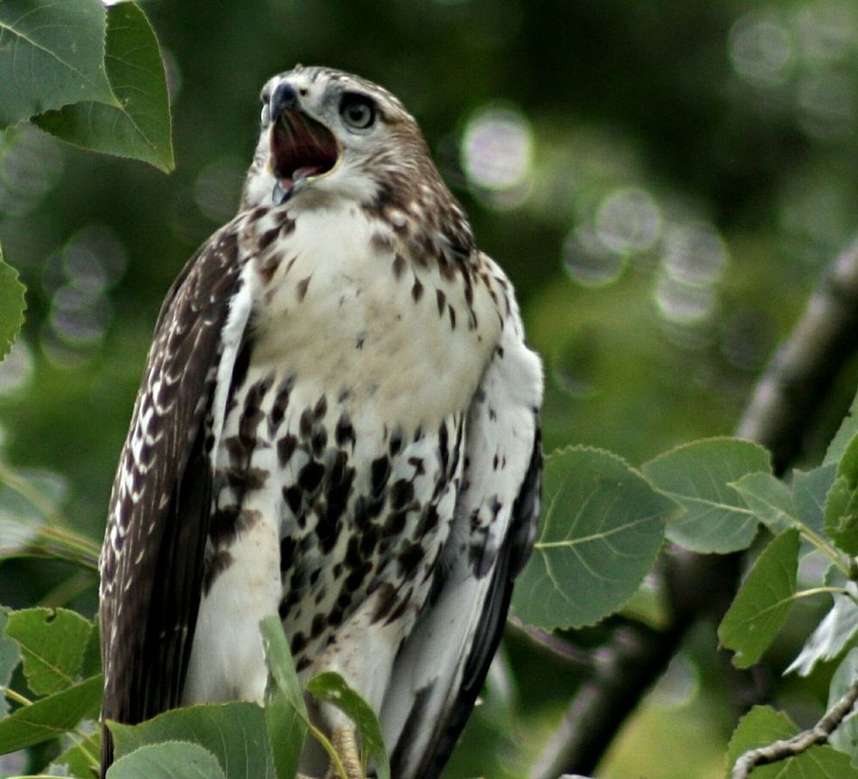 Beautiful stock photos of hawks, Animal Behavior, Animal Themes, Animals In The Wild, Beak