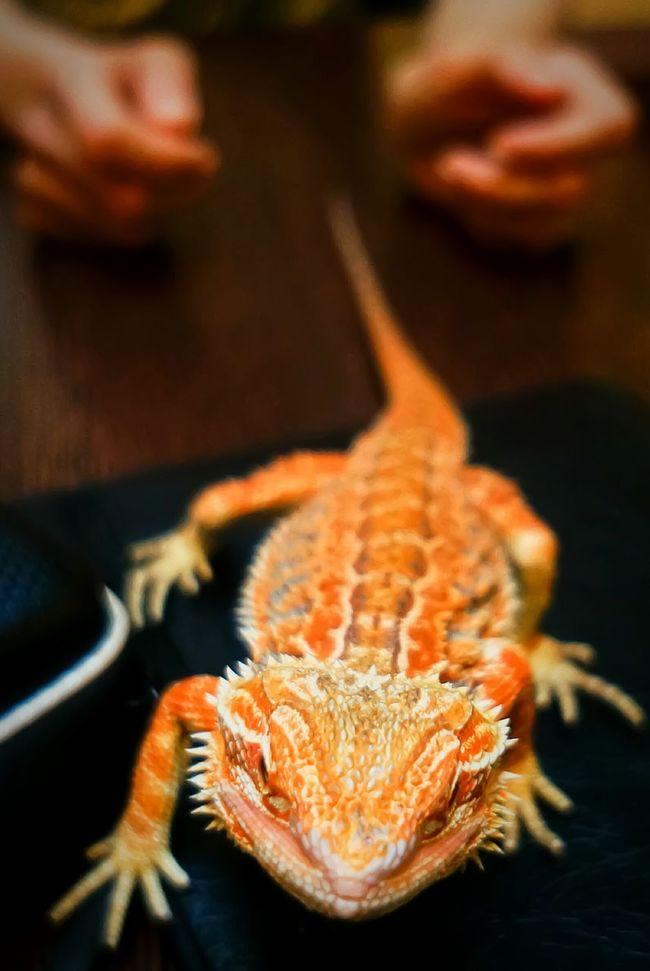 Close Up Pogona Bearded Dragon Dragon Lizard