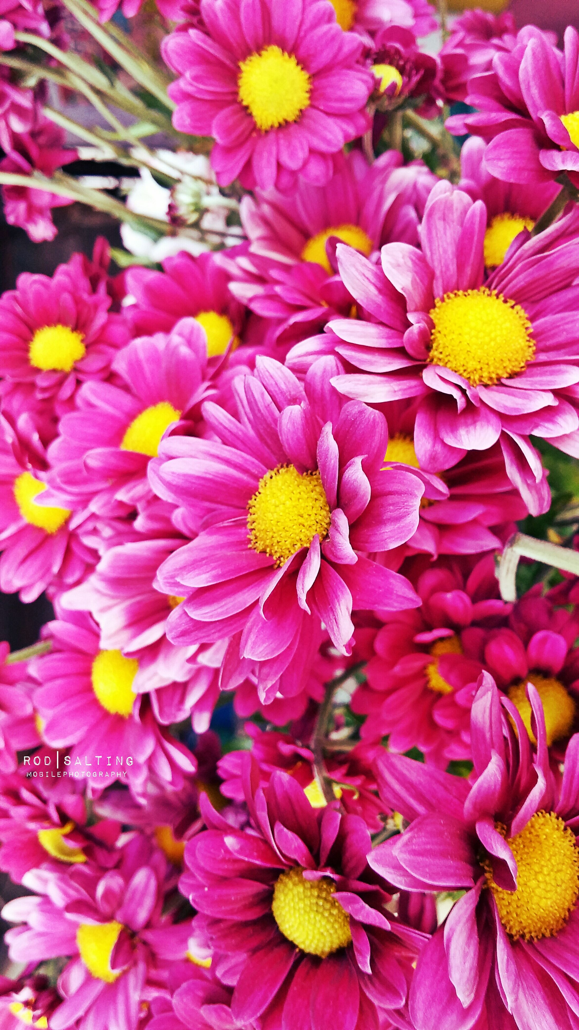 flower, freshness, petal, fragility, flower head, beauty in nature, pink color, growth, yellow, blooming, full frame, nature, close-up, backgrounds, pollen, abundance, plant, in bloom, high angle view, blossom