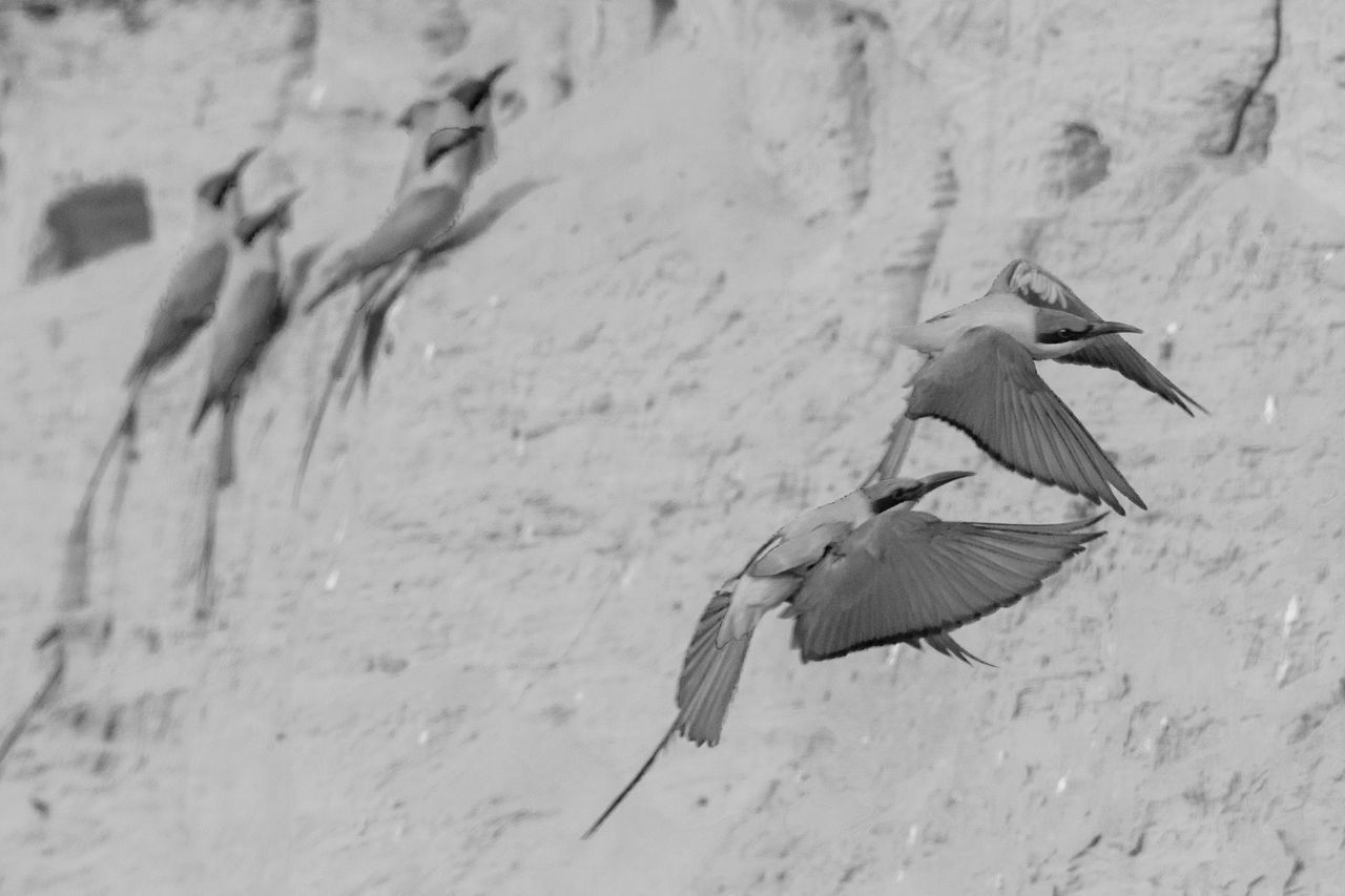 Maneuver Bnw_friday_eyeemchallenge B&w Birds Bee Eaters Carmine Bee Eater Carmine Bee Eater Bee-eater Animal Bird Photography Birds