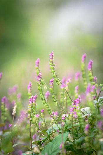 Beauty In Nature Blossom Flower Flower Head Focus On Foreground Fragility Freshness In Bloom Nikon Oriental Milkwort Pink Purple