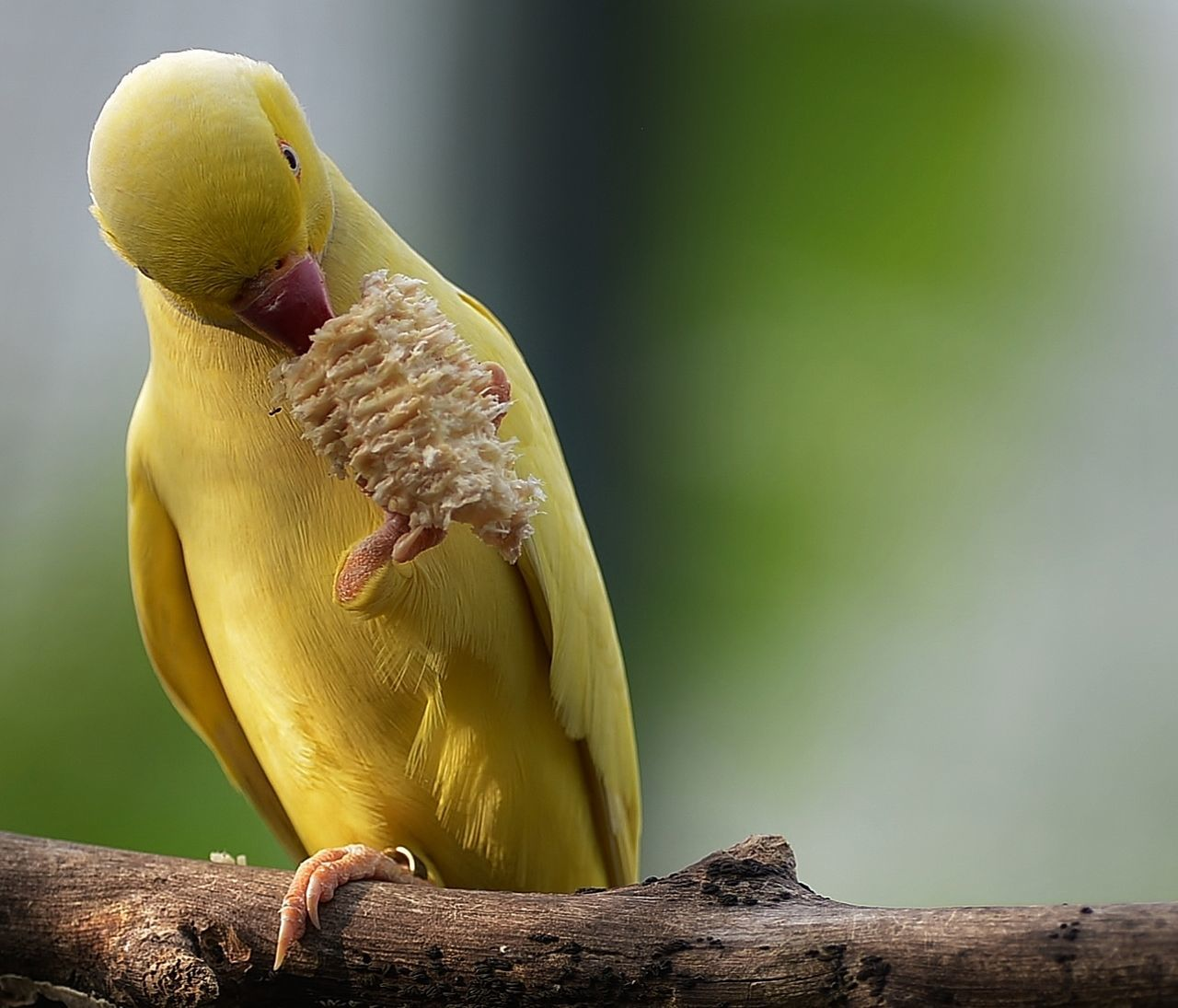 bird, parrot, animal themes, perching, animal wildlife, animals in the wild, one animal, yellow, beak, no people, nature, outdoors, close-up, day, branch, beauty in nature, cockatoo, mammal