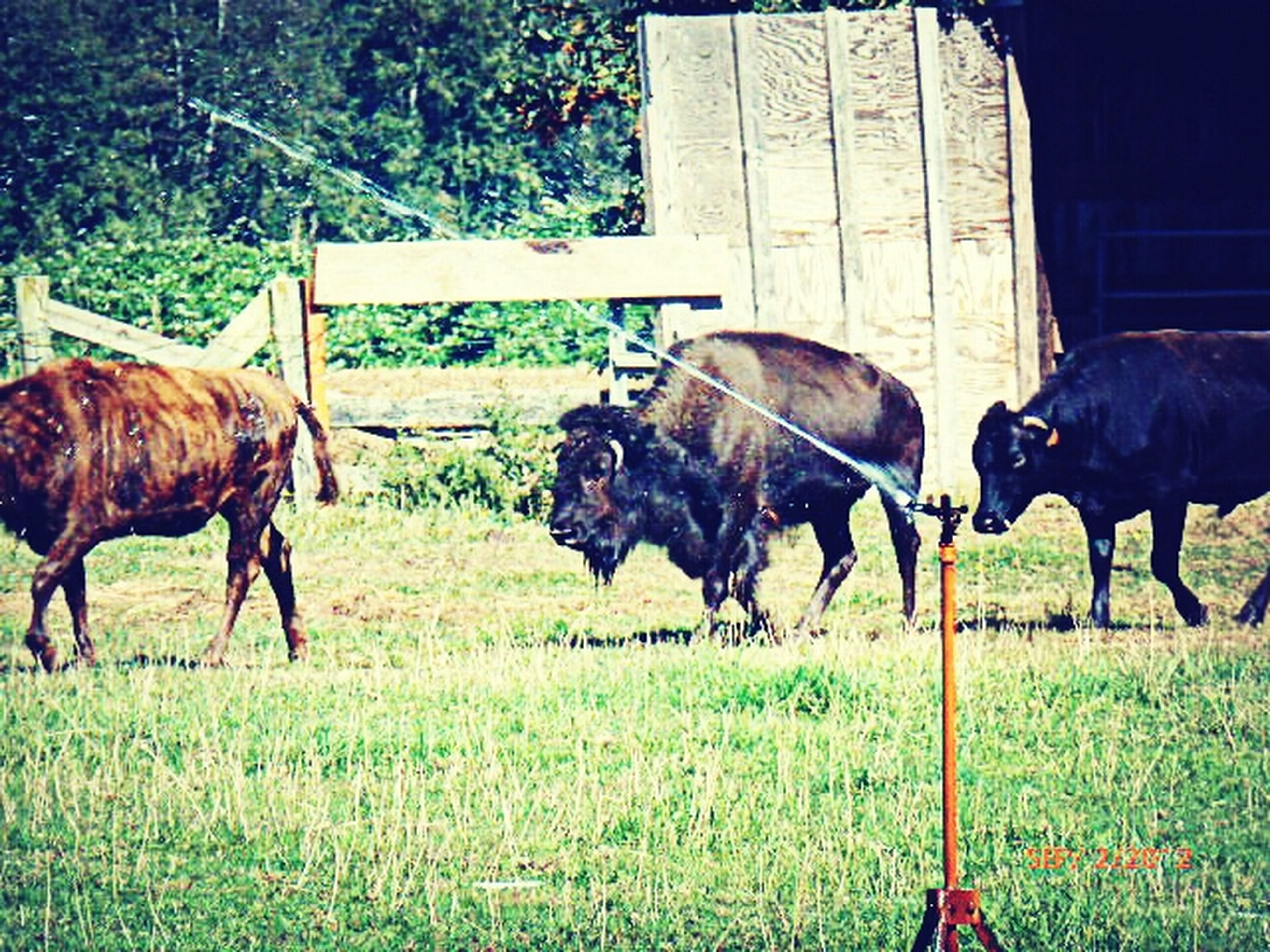 domestic animals, animal themes, livestock, horse, grass, field, mammal, cow, grazing, herbivorous, two animals, fence, grassy, medium group of animals, standing, green color, cattle, domestic cattle, working animal, three animals