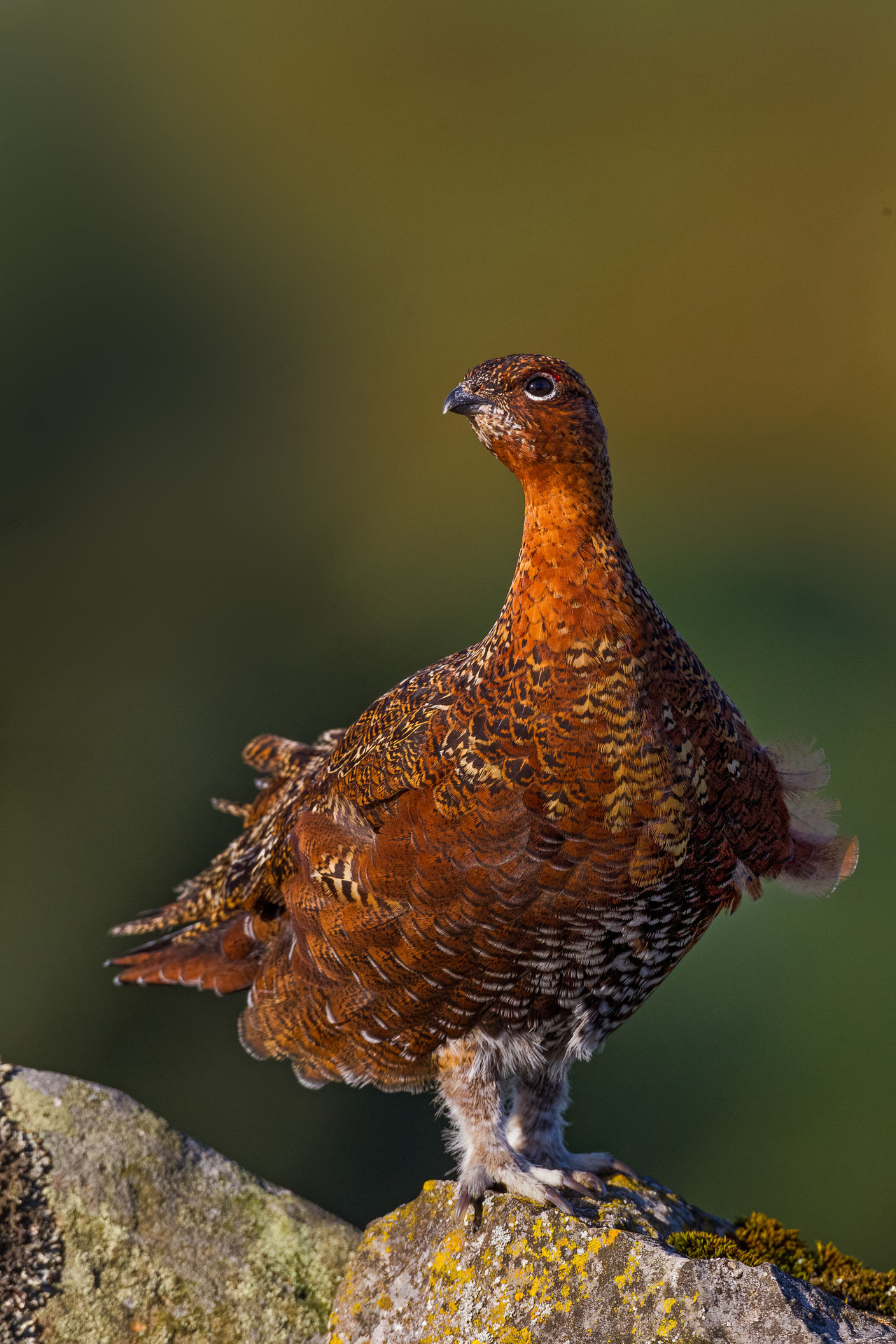 Red Grouse enjoying the sun Lagopus Lagopus Scotica Animal Themes Beauty In Nature Nature Outdoors Red Grouse Stonewalls Wildlife