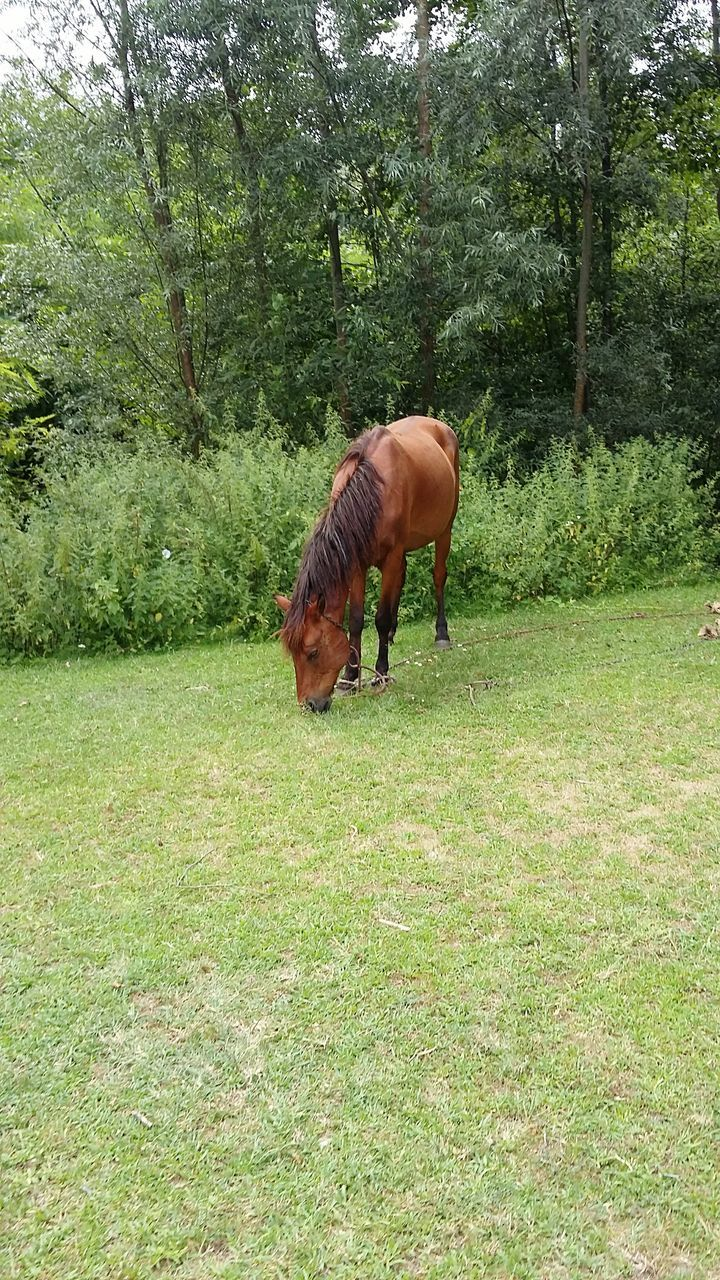 Brown Horse Grazing On Grass Area Against Trees