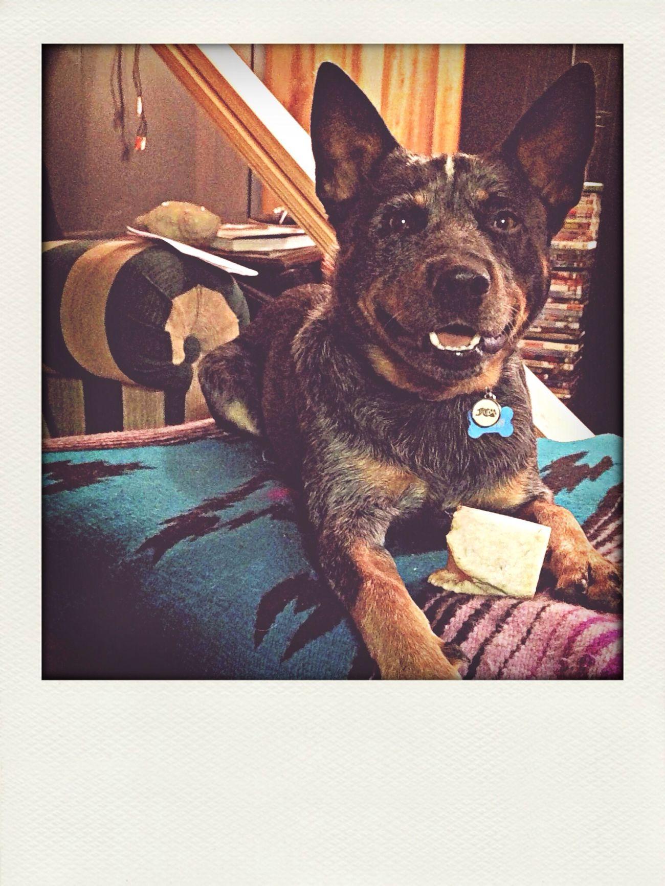 Finn ❤️ Cute Pets Blue Heeler