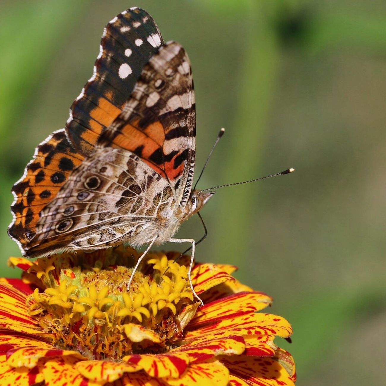Butterfly Painted Lady Zinnia  Colors