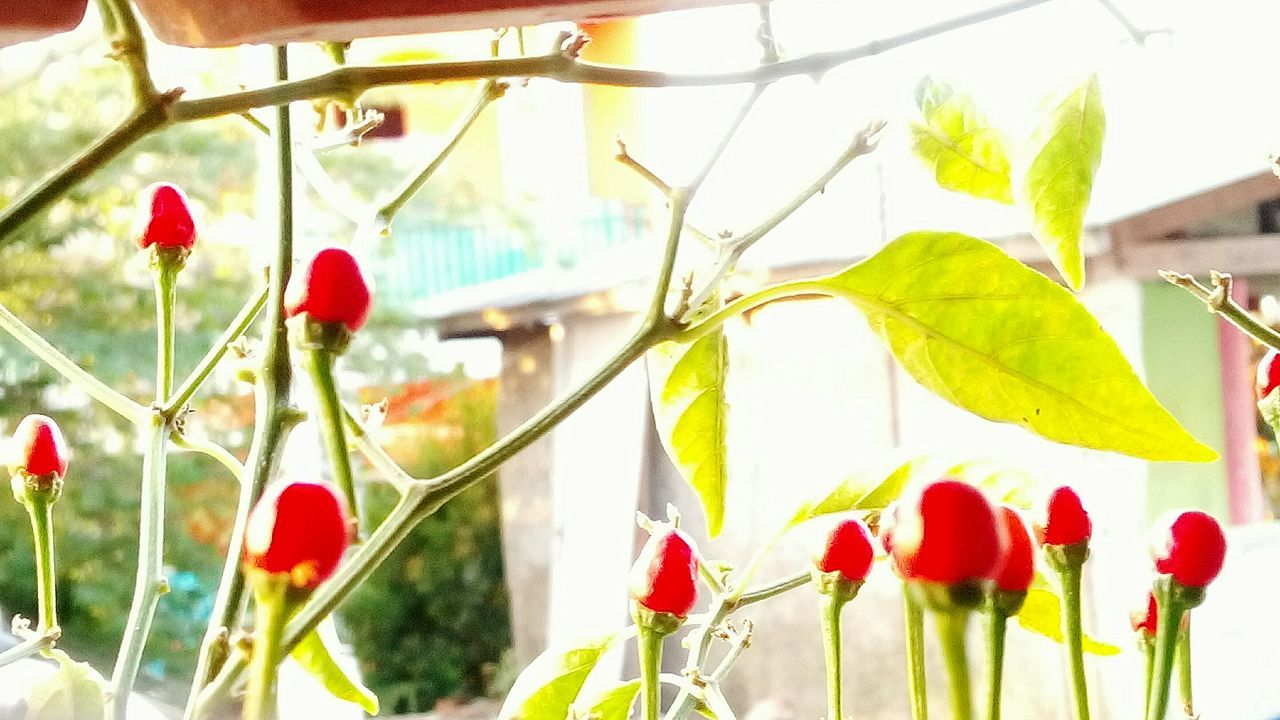 Red. Chili Pepper House Plant