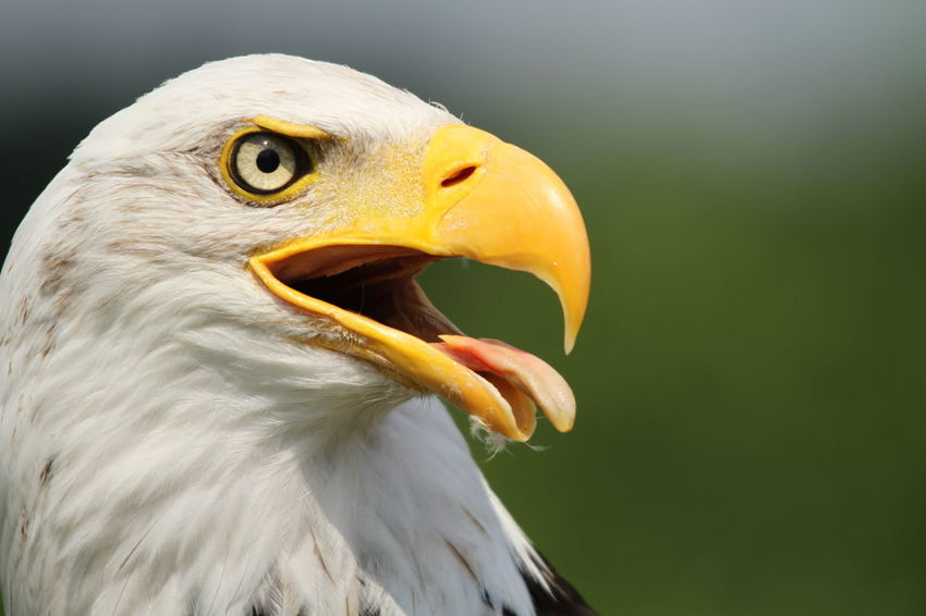 Eagle looks to the right Animal Head  Animal Themes Animals In The Wild Beak Bird Close Up Eagle Feather  Nature No People One Animal Selective Focus Wildlife Zoology