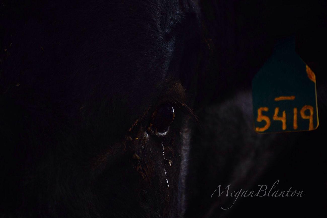 Animal Cow Flies 5419
