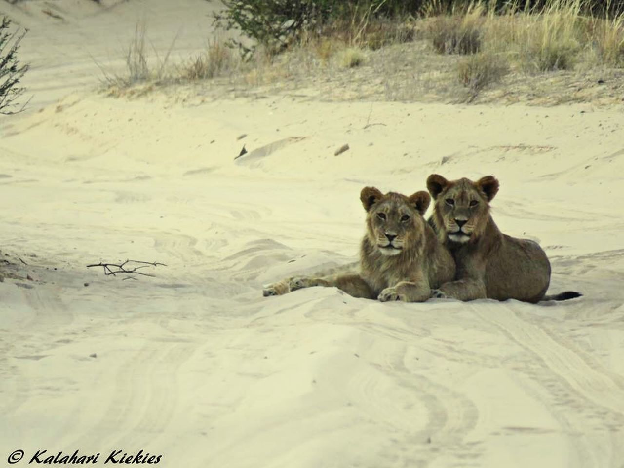 animal themes, animals in the wild, mammal, two animals, wildlife, animal wildlife, field, day, nature, no people, young animal, outdoors, togetherness, looking at camera, relaxation, portrait, cold temperature