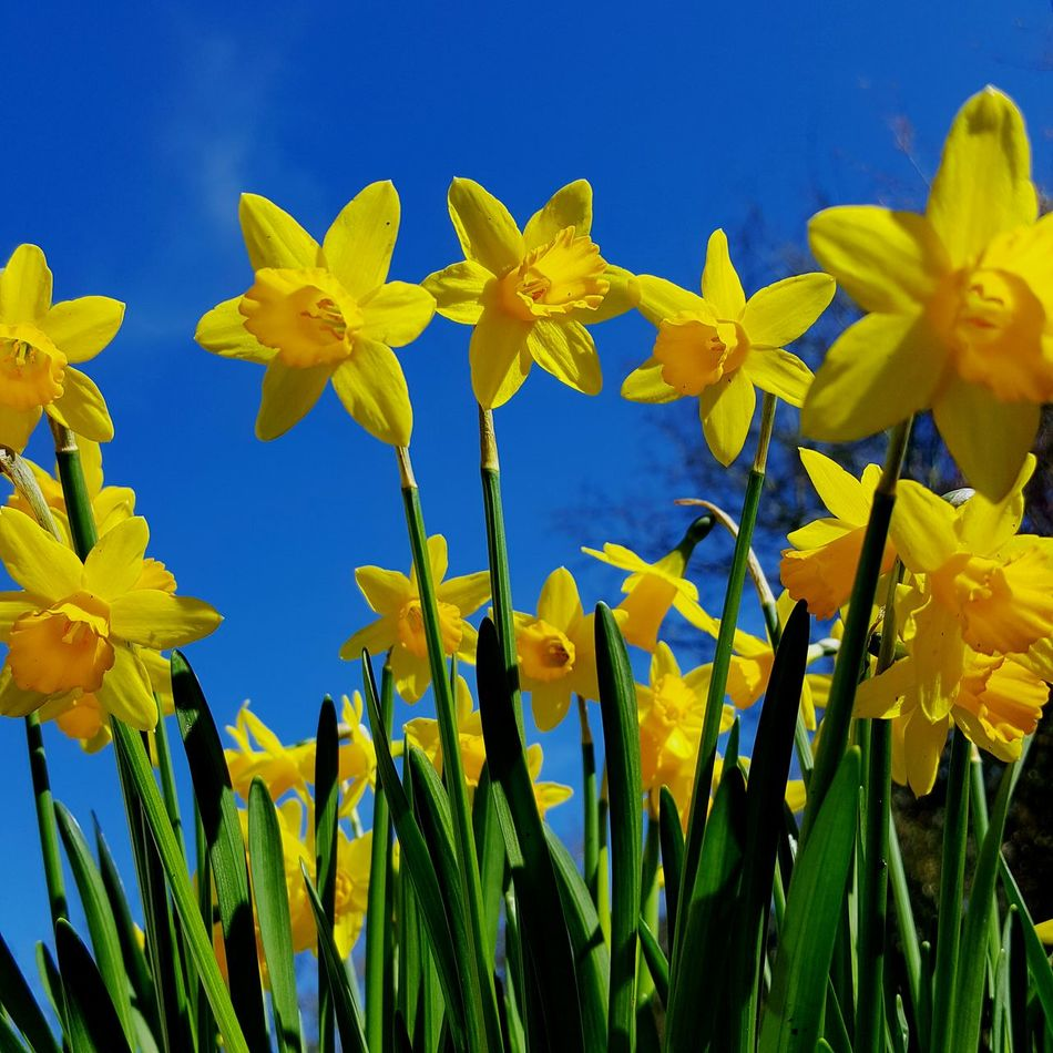 Daffodils Yellow Flower Blue No People Nature Plant Beauty In Nature Rural Scene Close-up Day Sky Outdoors Tete Et Tete Narcissus, Spring Flower, Spring Flowers, Spring Bulb Spring Flowering Bulb Springtime Garden Photography Garden Flowers Springtime Flowers Beauty In Nature