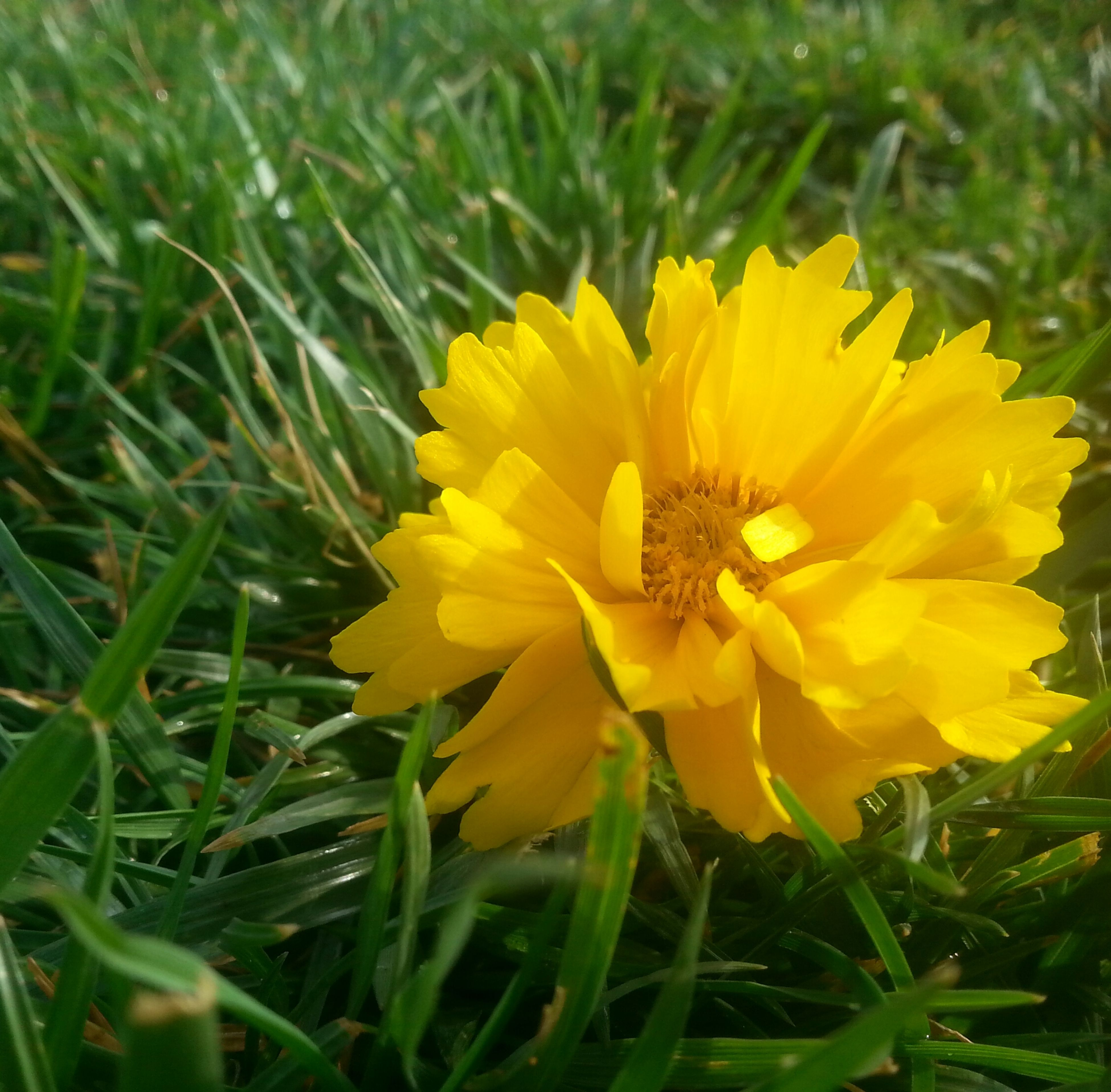 flower, yellow, nature, petal, beauty in nature, growth, fragility, plant, field, freshness, flower head, grass, no people, outdoors, close-up, day, blooming