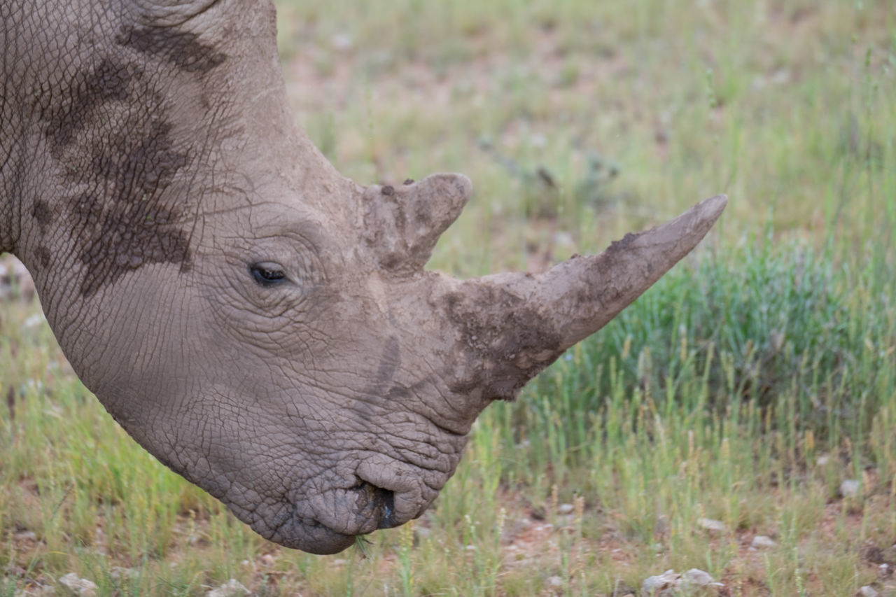 Animal Animal Themes Animals In The Wild Animals In The Wild Close Up Mammal Nature Nature No People One Animal Rhino Safari Animals WhiteRhino