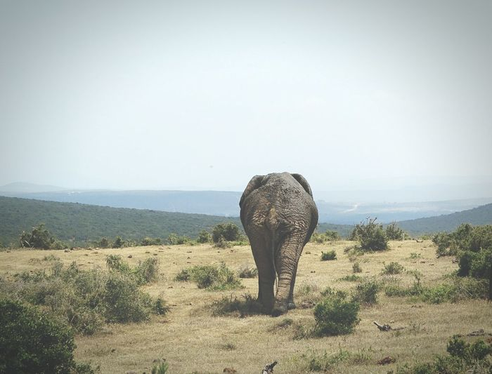 Graciously leaves the scence   Check This Out Elephant Rare View Behind Walking Taking Photos Walkaway Blue Sky Sky_collection Animal Themes Animal_collection Landscape_Collection Landscape Walking Around South Africa Southafrica_2015 African Elephant Alone Lonely Loneliness Rough Texture Wildlife Wildlife & Nature Hello World in Addoelephantpark