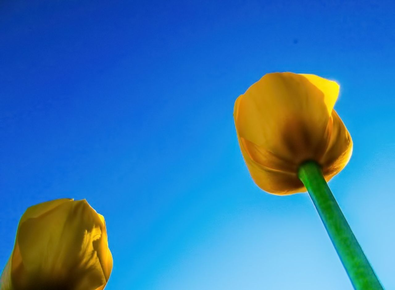 yellow, flower, blue, copy space, petal, fragility, beauty in nature, flower head, no people, nature, close-up, day, outdoors, freshness, headwear, sky