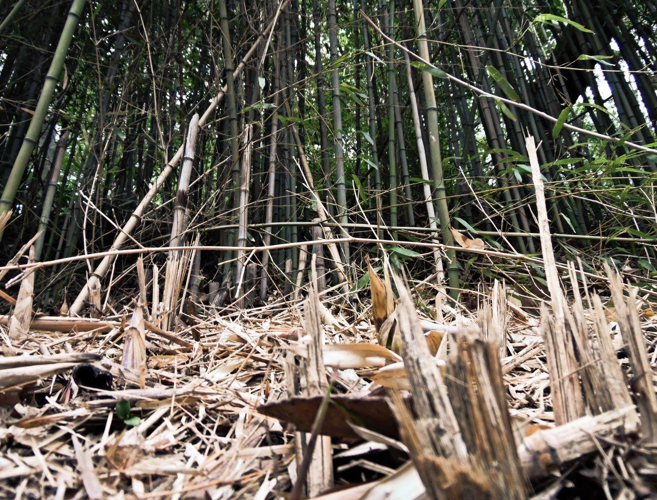 Bamboos On Field