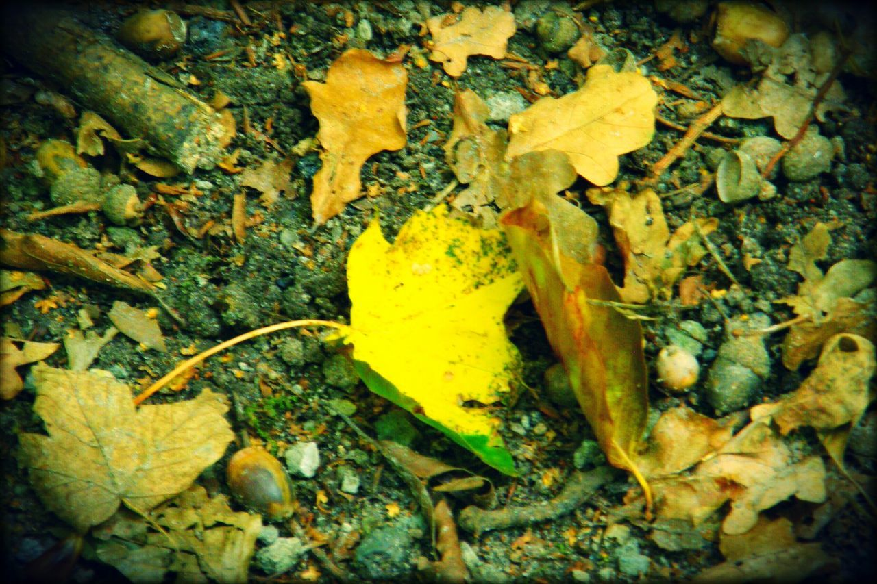 leaf, change, yellow, dry, autumn, no people, close-up, day, outdoors, nature, fragility, maple