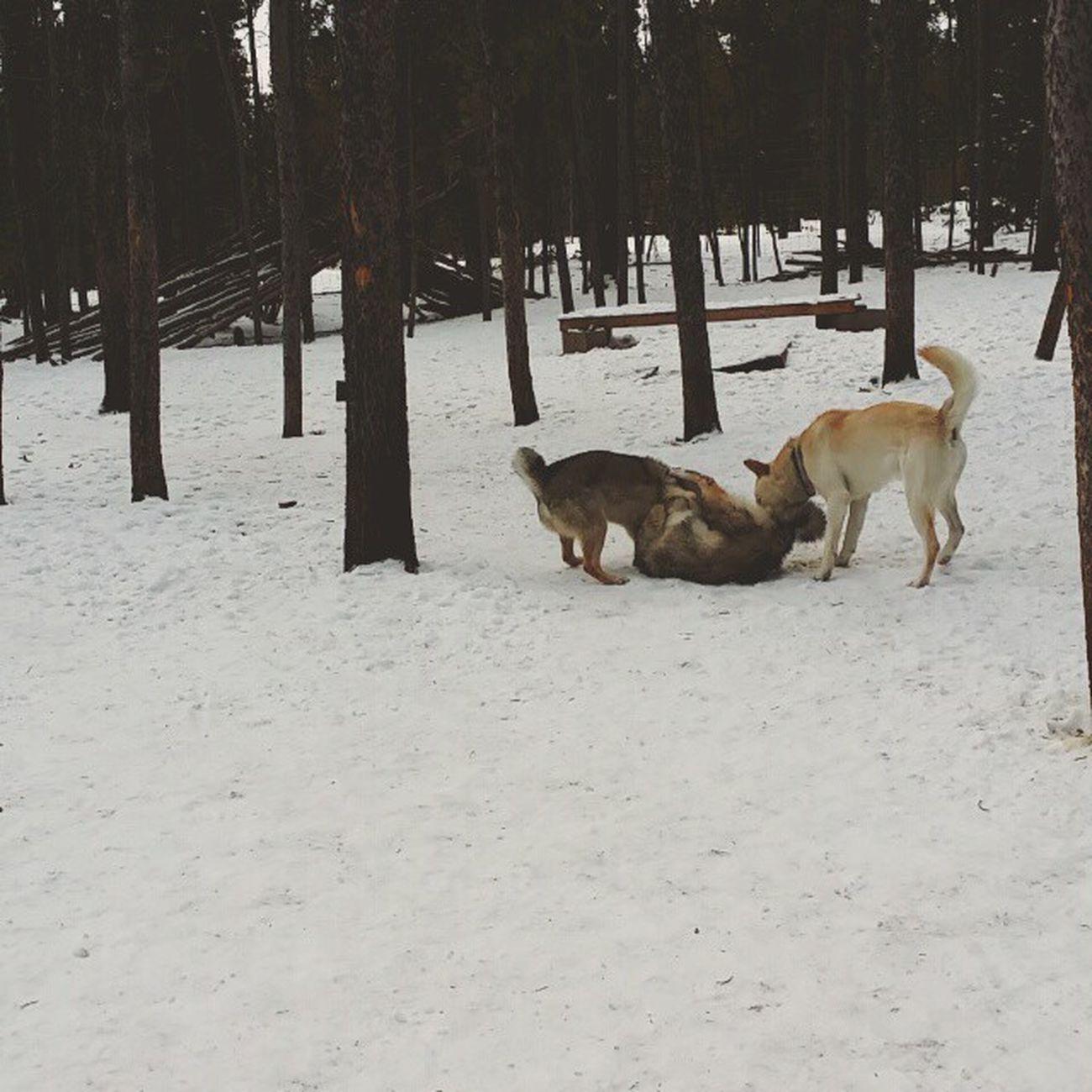 Hokkaido Jindo Laika Jingu Aza Shizuka Kishuken Wsl Kishu Hokkaidoken Nihonken Westsiberianlaika Genko