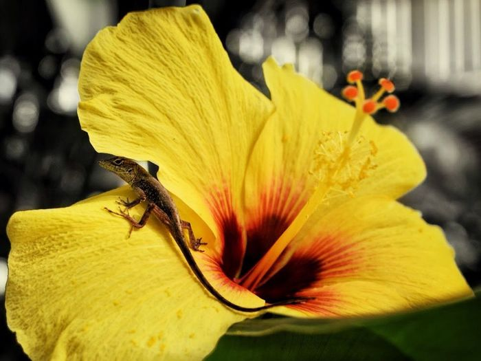 Anoli. Flower Petal Nature Fragility Flower Head Beauty In Nature One Animal Yellow Animal Themes Outdoors Close-up Animals In The Wild Freshness Day Growth No People Blooming Day Lily Hibiscus EyeEm Best Shots Lizard Reptile Animal Wildlife The Great Outdoors - 2017 EyeEm Awards Anolis