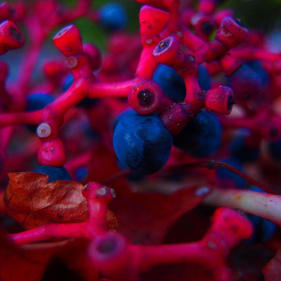 Red & Blue Red Fruit Close-up Berry Fruit No People Berry Nature Day Freshness Corallo