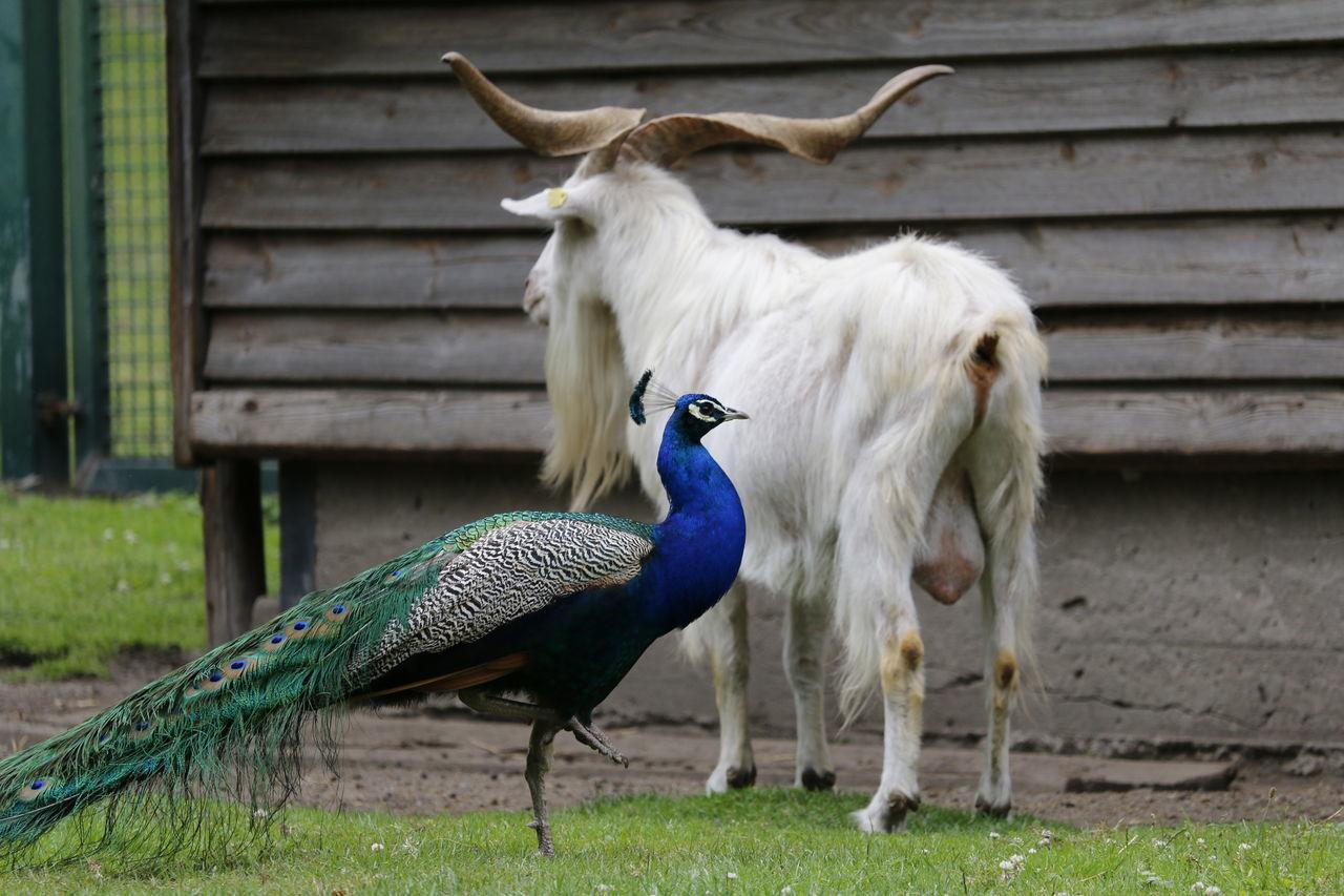 Beautiful stock photos of peacock, Animal Crest, Animal Themes, Animal Wildlife, Animals In The Wild