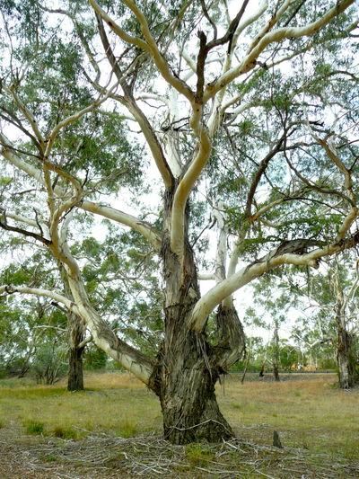 Botanical Botany Dancing Tree Nature No People Old Eucalyptus Tree Outdoors Stringy Bark Eucalyptus Tree Tree Tree Trunk Waving Branches
