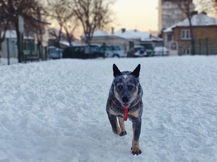 Dog Pets Winter One Animal Snow Animal Themes Cold Temperature Domestic Animals Australiancattledog Cattledog Heeler Blue Heeler Blue Dog Australian Cattle Dog ACD  Focus On Foreground Mammal Mouth Open No People Outdoors Nature Day