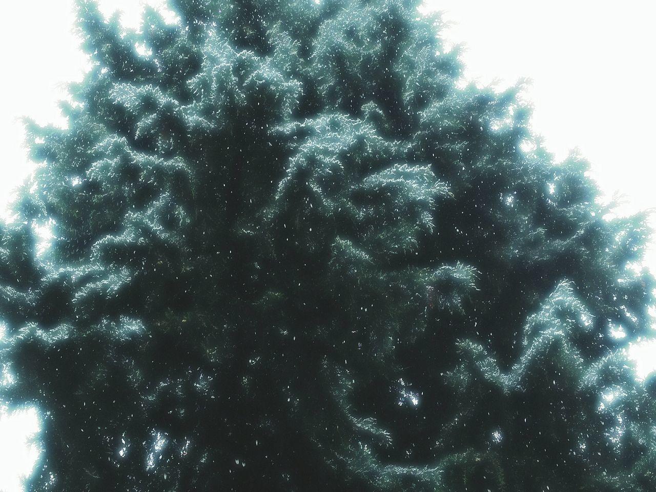 Sky Close-up Tree In Fog White Sky Tree In Snow Pine Tree Tree Close-up Tree In Light Illuminating Light