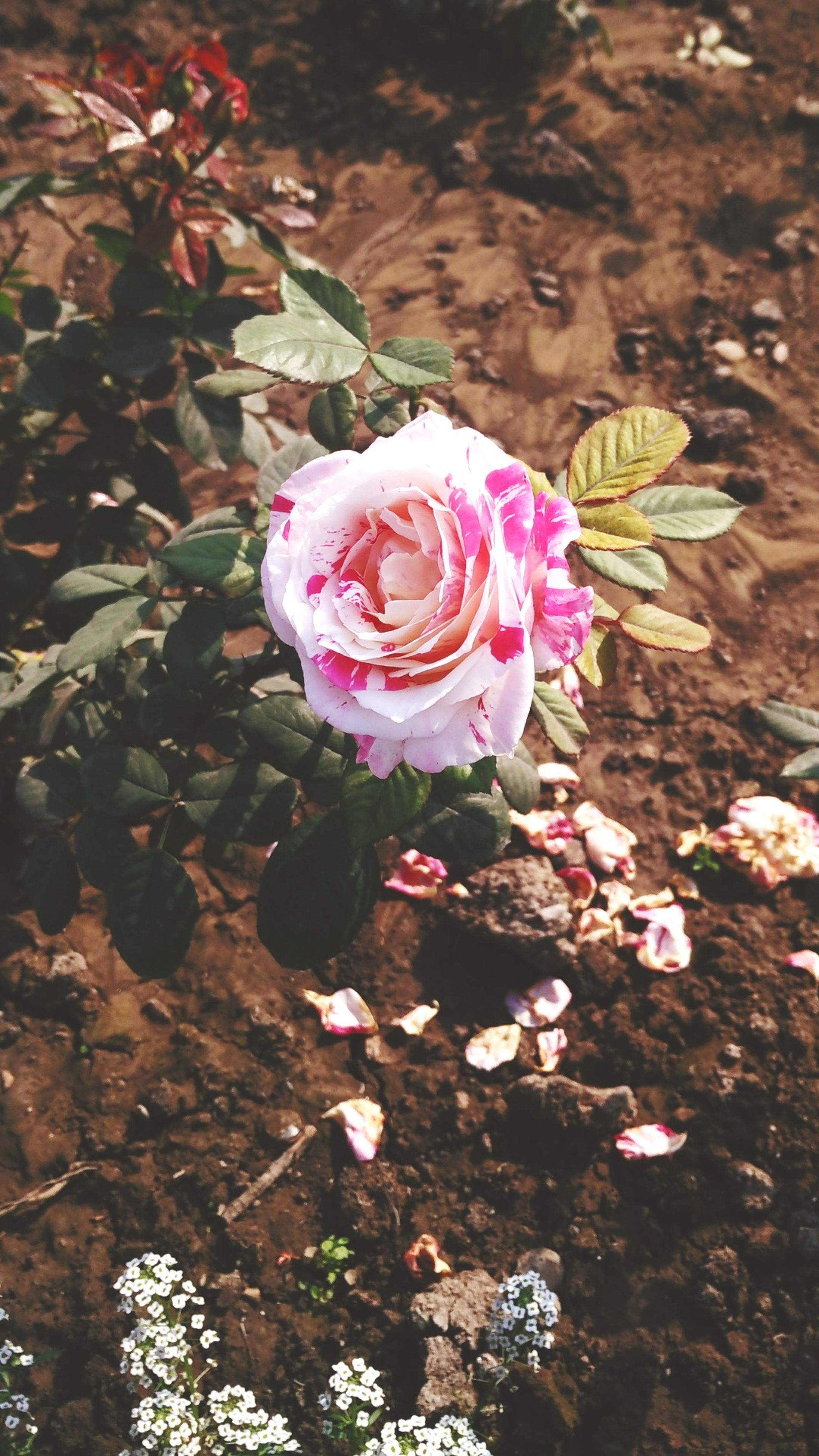 flower, fragility, petal, nature, flower head, growth, pink color, plant, high angle view, beauty in nature, freshness, leaf, springtime, blossom, outdoors, no people, close-up, day, water