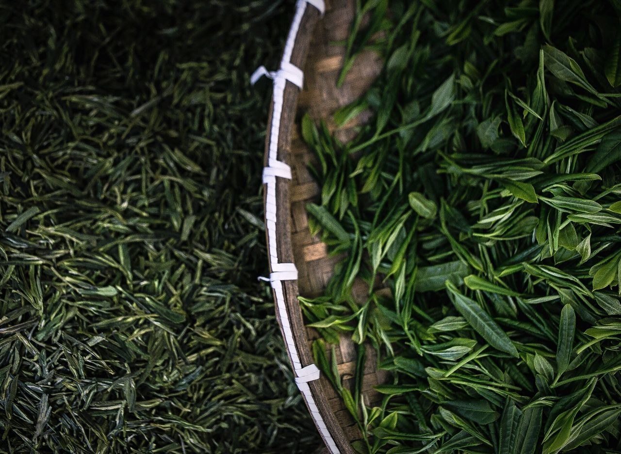 Fresh picked and recently dried green tea at Yan Dang Mountain, made in the style of Longjing. Green Color Food And Drink No People Food Close-up Macro Tea Green Tea ❤️ Green Tea Tea Time Tea Leaves Green Tea Farm Fresh Tea Chinese Food Chinese Tea China Chinese Culture Chinese China China Photos Foodphotography 绿茶 Dragon Well Longjing Tea Farm Longjingtea