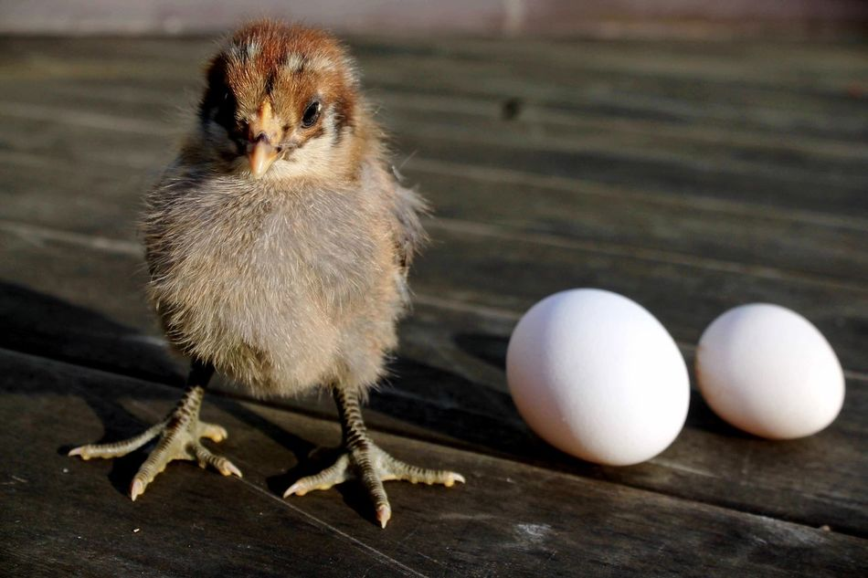 Beautiful stock photos of tierbabys, Animal Egg, Animal Themes, Baby Chicken, Bird