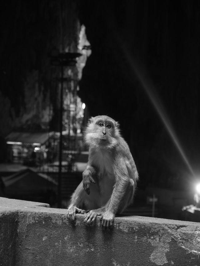 Batu Caves Batu Caves -Malaysia Blackandwhite Cave Monkey Monkeys Old Posing Rock