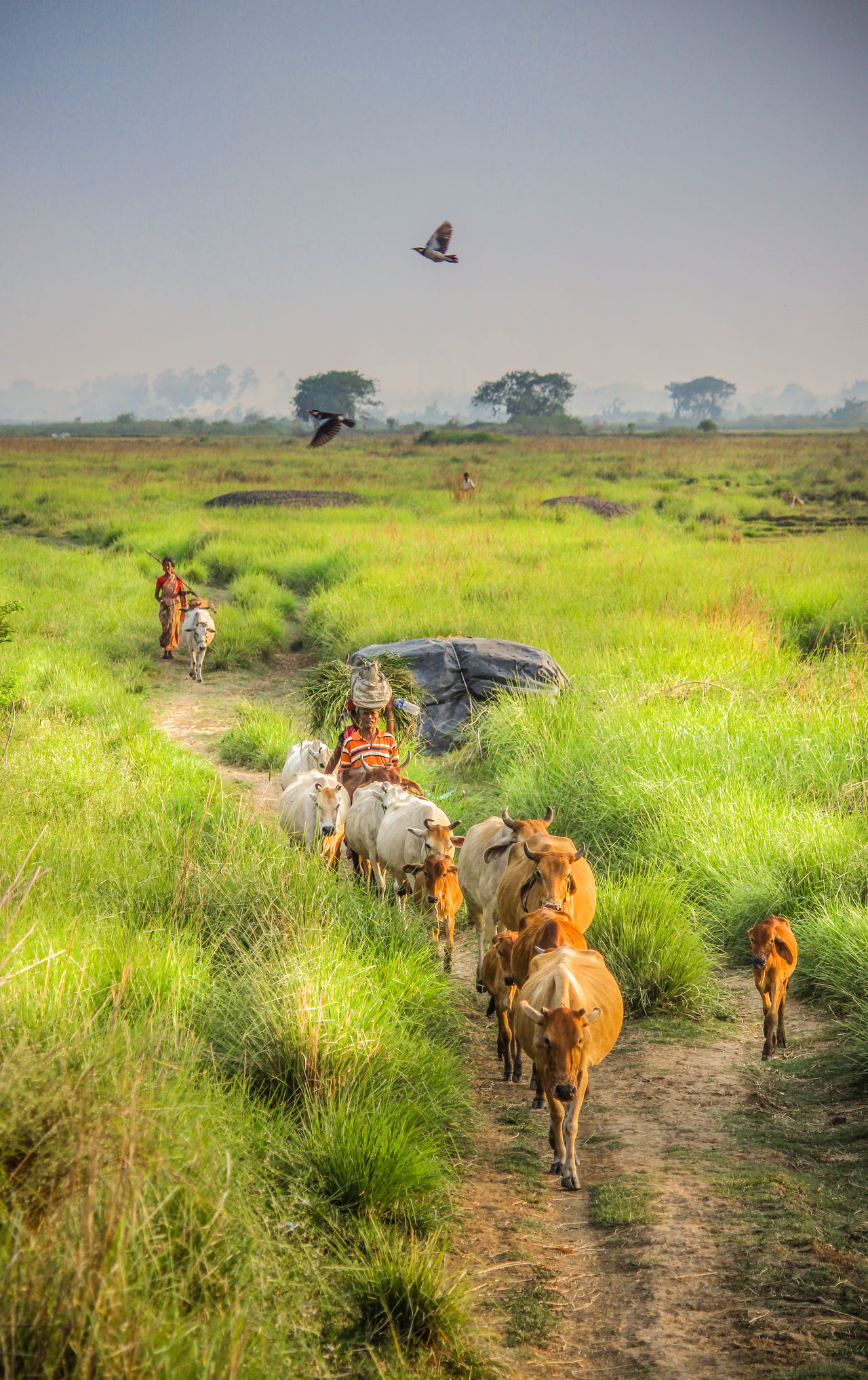 Dawn Field Agriculture Grass Outdoors Nature Landscape Animal Themes The Week On EyeEem Canon700D Live For The Story Canon_official Canonphotography The Great Outdoors - 2017 EyeEm Awards Domestic Animals Rice Paddy Day Working No People Mammal Bird Sky The Photojournalist - 2017 EyeEm Awards