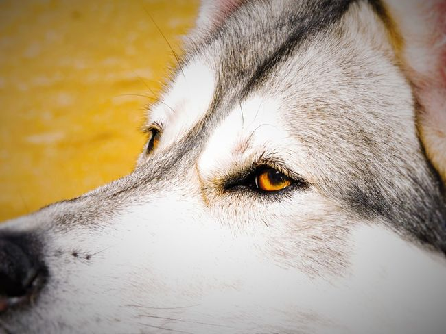 Animal Close-up Dog Fire Eye Husky Orange Pets